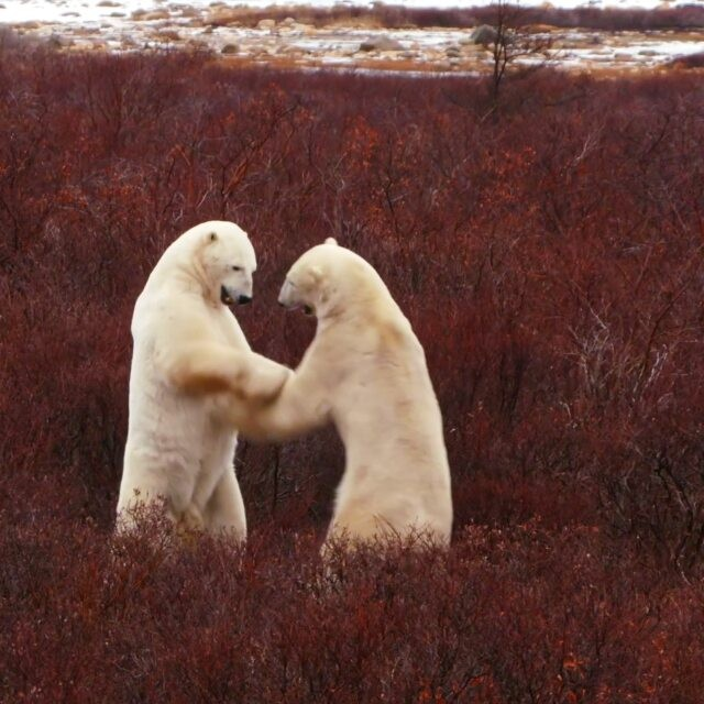 Watching Polar Bears never gets old. #polarbear #churchill #Manitoba #wildlife #fightclub #tbt #exploremb