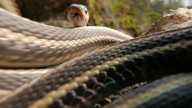 Lots of snake action at Narcisse Snake Dens yesterday! Don't worry, the camera adds 10lbs – they're really not this large. #exploremb #Manitoba #narcisse #closeup #donttrythisathome